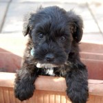 Schnoodle Puppy aged 6 weeks