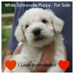 Rare White Schnoodle Pup - For Sale