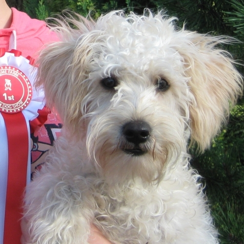 Schnoodle puppies - Apricot and White markings ...