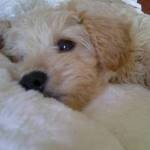 Ted_the_Schnoodle_2_Sml