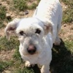 Loretta the Schnoodle - Looking for her 'Forever Home'