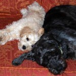 Big Schnoodle Woody and little Schnoodle Ted