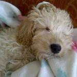 Schnoodle snooze after a walk