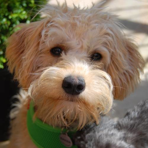 ted the schnoodle � 6 months old iloveschnoodlescom