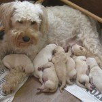8 day old Schnoodle pups with their Mummy, Saffron