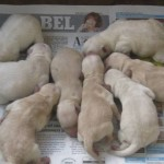 1 day old Schnoodle pups