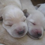 Schnoodle Pups aged 8 days old