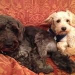 Schnoodle brothers Woody and Ted