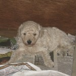 Max the Schnoodle Puppy