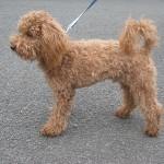 Paddington the red poodle